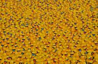 Thousands of sponsored rubber ducks